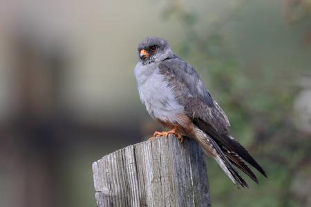 falco: Red-footed falcon, Falco vespertinus, single immature male on post, Staffordshire, July 2015