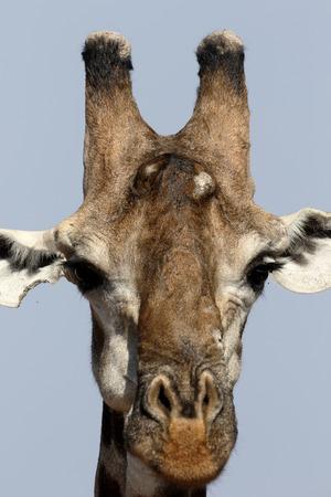 giraffa: Giraffe, Giraffa camelopardalis, single mammal head shot, South Africa