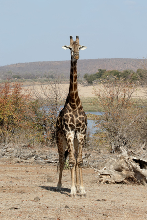 giraffa: Giraffe, Giraffa camelopardalis, single mammal, South Africa Stock Photo