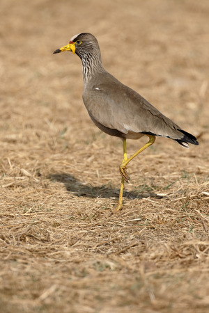 plover: Wattled plover, Vanellus senegallus, single bird on ground, South Africa