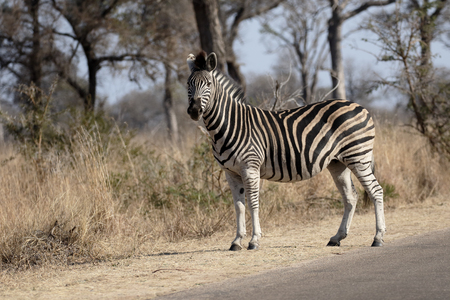 Plains or Burchells zebra, Equus quagga, single mammal,  South Africa