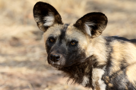 lycaon pictus: Cape hunting dog, Lycaon pictus, single mammal head shot,  South Africa