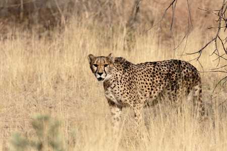 Cheetah, Acinonyx jubatus, single mammal, South Africa Stock Photo