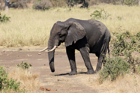 loxodonta africana: African elephant, Loxodonta africana, single mammal in bush, South Africa