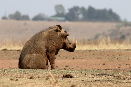 zoogdier: Wrattenzwijn, Phacochoerus aethiopicus, enkel zoogdier, Zuid-Afrika