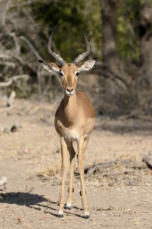 zoogdier: Impala, Aeplyceros melampus, enkel zoogdier, Zuid-Afrika Stockfoto