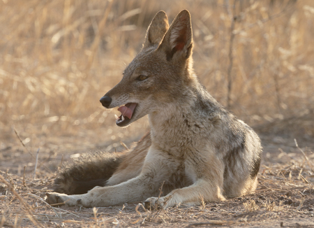 canis: Black-backed jackal, Canis mesomelas, single mammal lying down, South Africa