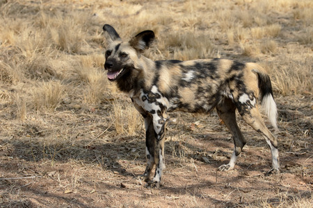 lycaon pictus: Cape hunting dog, Lycaon pictus, single mammal, South Africa