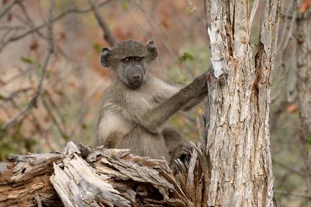 baboon: Chacma baboon, Papio ursinus, single mammal on branch, South Africa