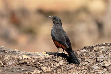 mocking: Mocking cliff-chat, Thamnolaea cinnamomeiventris, single bird on branch, South Africa
