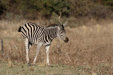 plains: Plains or Burchells zebra, Equus quagga, single mammal,  South Africa
