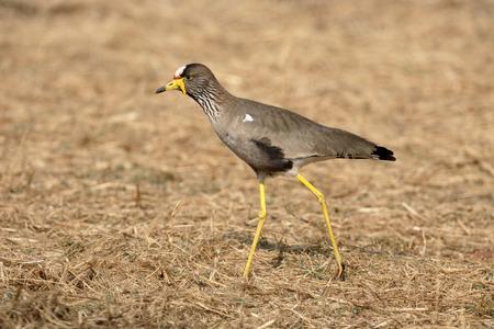 wattled: Wattled plover, Vanellus senegallus, single bird on ground, South Africa