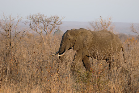 africana: African elephant, Loxodonta africana, single mammal in bush, South Africa