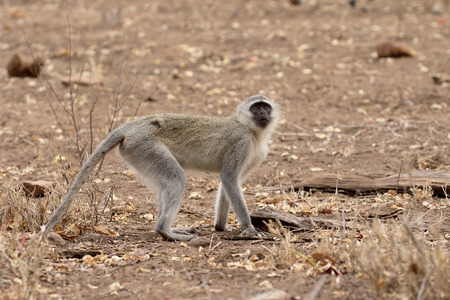 zoogdier: Vervet aap, Chlorocebus pygerythrus, enkel zoogdier, Zuid-Afrika Stockfoto
