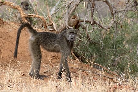 baboon: Chacma baboon, Papio ursinus, single mammal on ground, South Africa Stock Photo