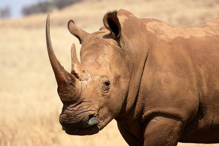 흰 코뿔소, Diceros simus, 단일 포유 동물 머리 샷, 남아프리카 스톡 콘텐츠