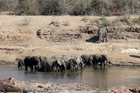 loxodonta africana: African elephant, Loxodonta africana, group in water, Krugger NP, South Africa