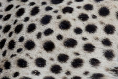 acinonyx: Cheetah, Acinonyx jubatus, single mammal coat pattern, South Africa