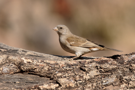 passer by: Southern grey-headed sparrow, Passer diffusus,  single bird on branch, South Africa