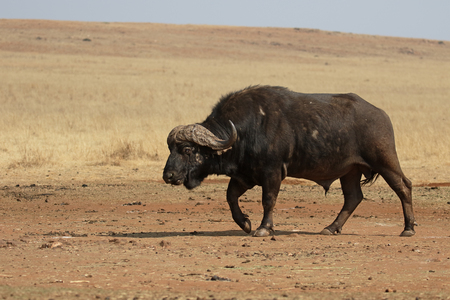 mammal: African buffalo, Syncerus caffer,  single mammal on grass, South Africa