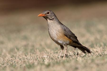 turdus: Kurrichane thrush, Turdus libonyanus, single bird on ground, South Africa
