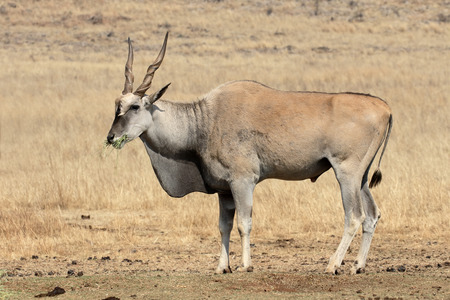 mammal: Eland, Taurotragus oryx, single mammal, South Africa