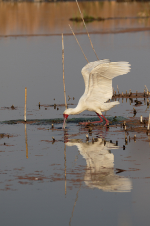 alba: African spoonbill, Platalea alba, single bird in water, South Africa