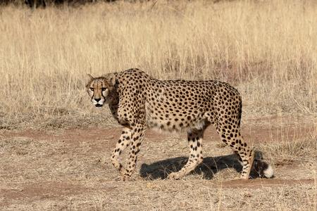 acinonyx: Cheetah, Acinonyx jubatus, single mammal, South Africa Stock Photo