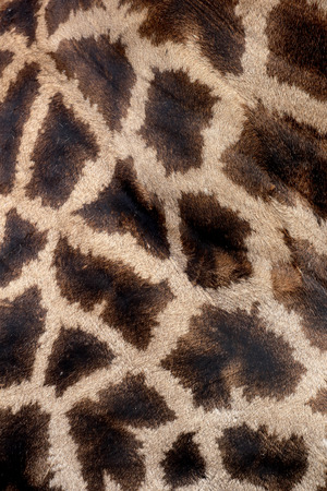 giraffa: Giraffe, Giraffa camelopardalis, single mammal coat pattern, South Africa Stock Photo