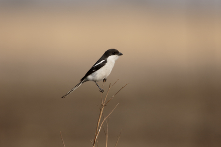 fiscal: Southern Fiscal shrike, Lanius collaris, single bird on branch, South Africa