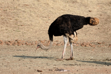 struthio camelus: Ostrich, Struthio camelus, single male, South Africa