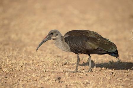 ibis: Hadeda ibis, Bostrychia hagedash, single bird on ground, South Africa