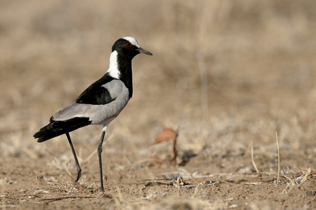 plover: Blacksmith plover, Vanellus armatus, single bird on ground, South Africa