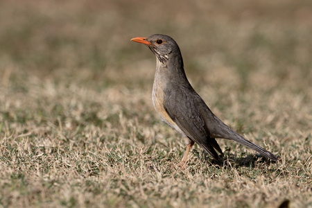 thrush: Kurrichane thrush, Turdus libonyanus, single bird on ground, South Africa