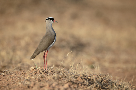 plover: Crowned plover, Vanellus coronatus, single bird on ground, South Africa Stock Photo