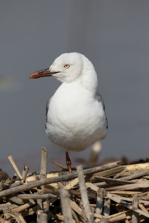chroicocephalus: Grey-headed gull, Chroicocephalus cirrocephalus, single bird on reeds, South Africa Stock Photo
