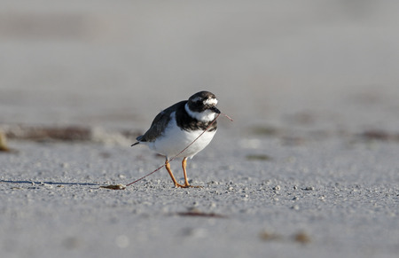ringed: Ringed plover, Charadrius hiaticula, single bird on beach,      South Uist, Hebrides, September 2015