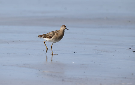 ruff: Ruff, Philomachus pugnax, single bird on beach, South Uist, Hebrides, September 2015 Stock Photo