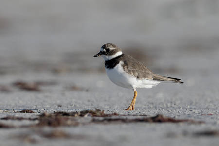 plover: Ringed plover, Charadrius hiaticula, single bird on beach,      South Uist, Hebrides, September 2015