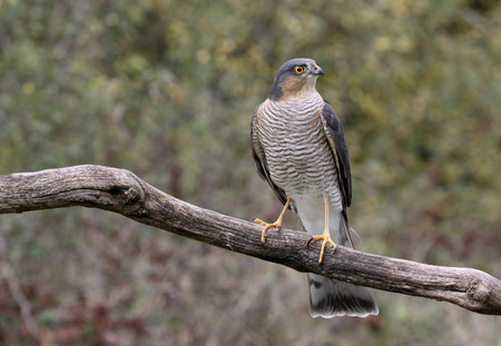 sparrowhawk: Sparrowhawk, Accipiter nisus, single male on branch, Warwickshire, October 2015
