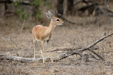 campestris: Steenbok or steinbok or steinbuck, Raphicerus campestris, single male antelope, South Africa, August 2015