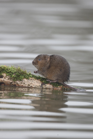 vole: Water vole, Arvicola amphibius, single mammal by water, Warwickshire, December 2015 Stock Photo
