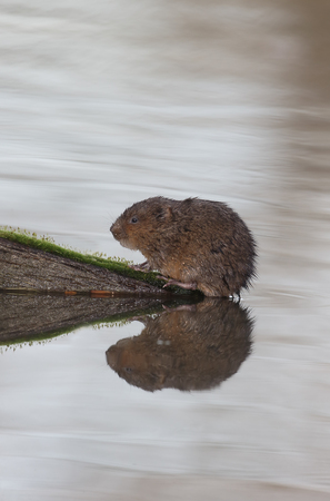 amphibius: Water vole, Arvicola amphibius, single mammal by water, Warwickshire, December 2015 Stock Photo