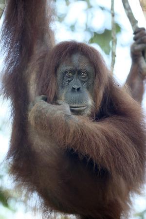 sumatra: Orang utan, Pongo abelii, single mammal in tree, Sumatra, January 2016