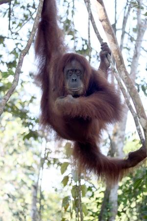 orang: Orang utan, Pongo abelii, single mammal in tree, Sumatra, January 2016