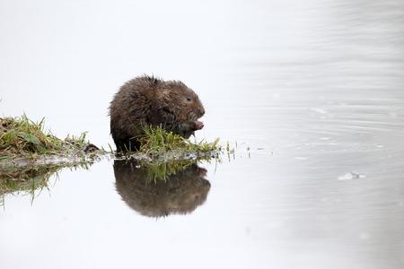 ratty: Water vole, Arvicola amphibius, single mammal by water, Warwickshire, December 2015 Stock Photo