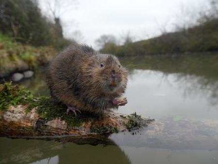 Water vole, Arvicola amphibius, single mammal by water, Warwickshire, December 2015 Stock Photo
