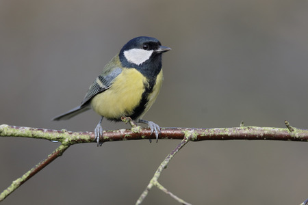 parus major: Great tit, Parus major, single bird on branch, Warwickshire, January 2016 Stock Photo