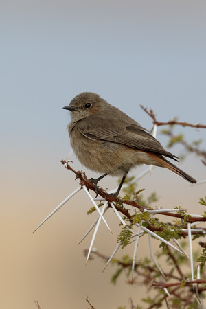 familiaris: Familar chat, Cercomela familiaris,  single bird on branch, South Africa, August 2015