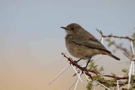 familiaris: Familar chat, Cercomela familiaris,  single bird on branch, South Africa, August 2015